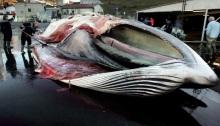 peche-baleine-islande